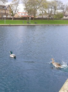 Pretty male duck being chased by a female duck
