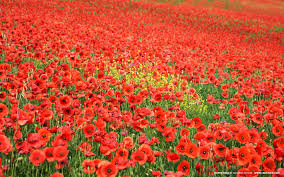 Poppies which inspired Dr John McCrae to write a poem